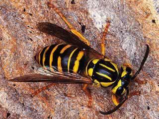 Totul despre viespi si gargauni - II