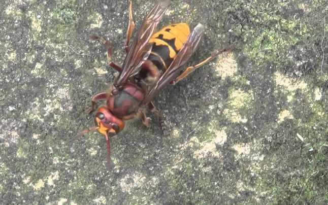 Evitarea intepaturilor de viespe si gargaune - IV
